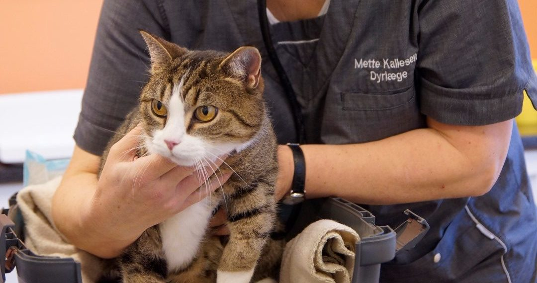 Kattevenlig klinik i Kolding – et trygt valg for dig og din kat   Dyrlægehuset Kolding
