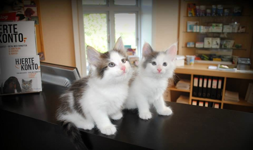 Vaccination af kat – Find vaccinationsplan til killing | Dyrlægehuset Kolding