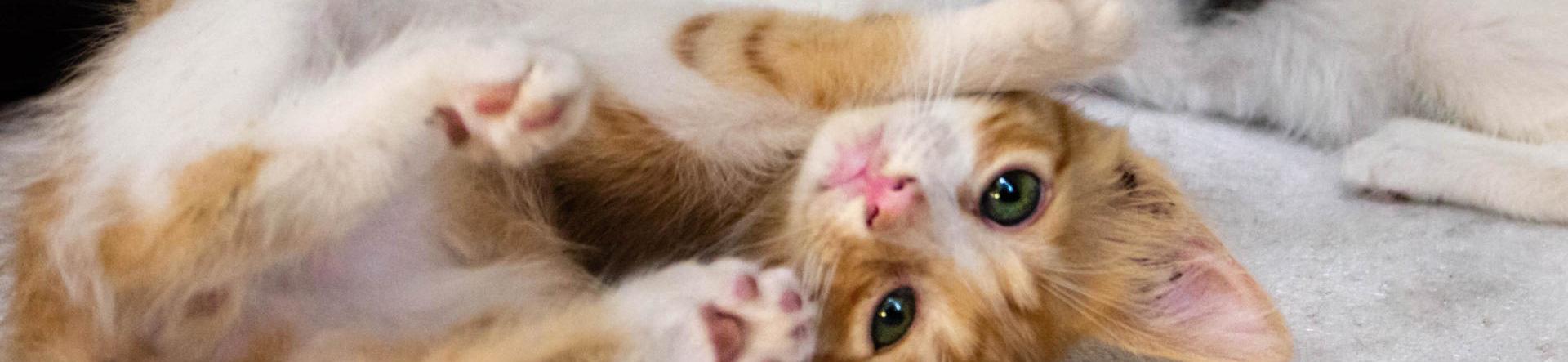 Neutralisation af kat i Kolding – kastration og sterilisation | Dyrlægehuset Kolding