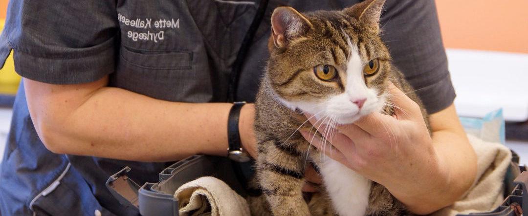 Vaccination af kat – Brug af Purevax-vaccineserien | Dyrlægehuset Kolding