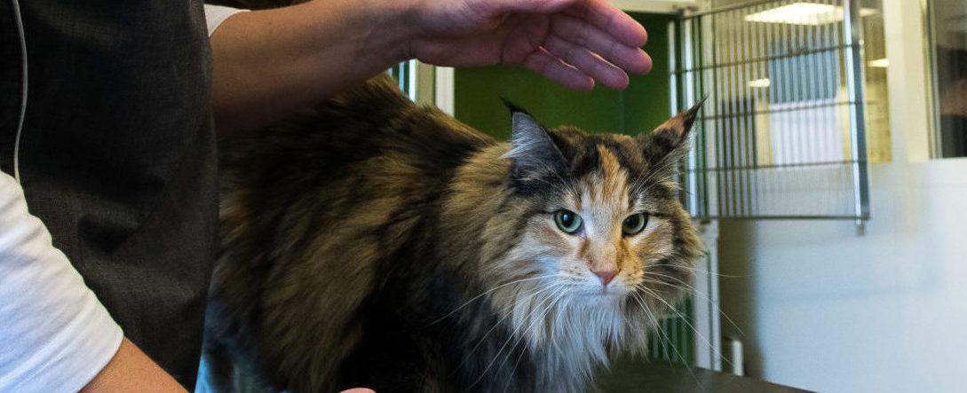 ID-mærkning af kat – øretatovering og chipmærkning | Dyrlægehuset Kolding