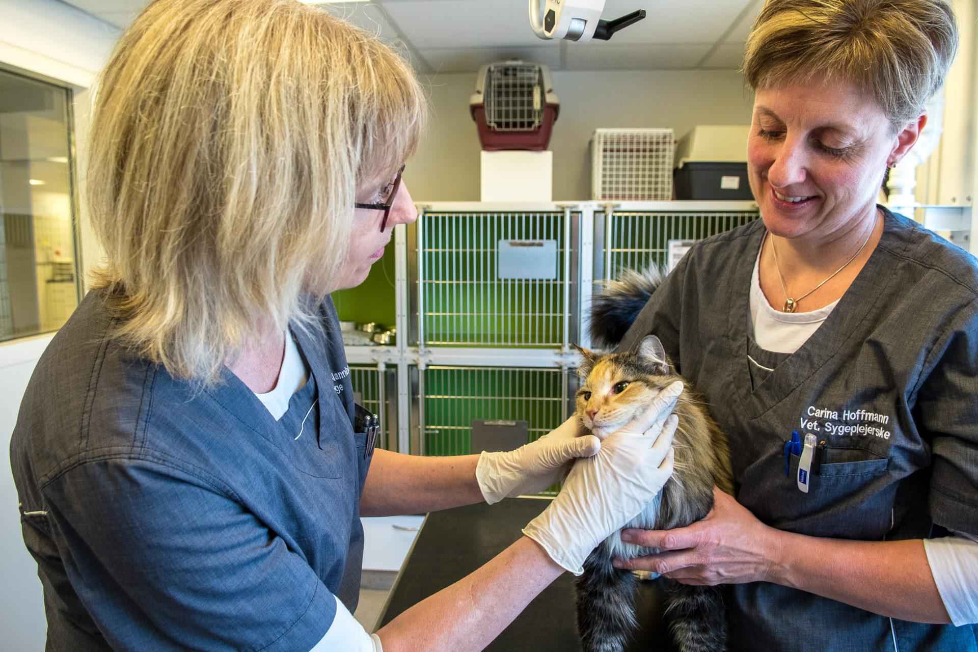 Flåtbehandling af kat | Dyrlægehuset Kolding