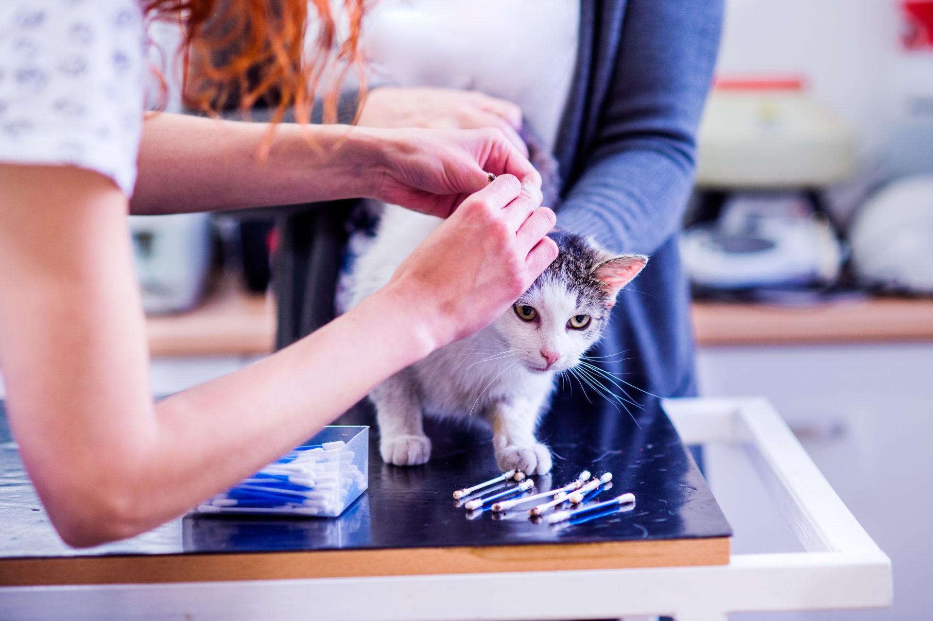 Øremider hos kat | Dyrlægehuset Kolding