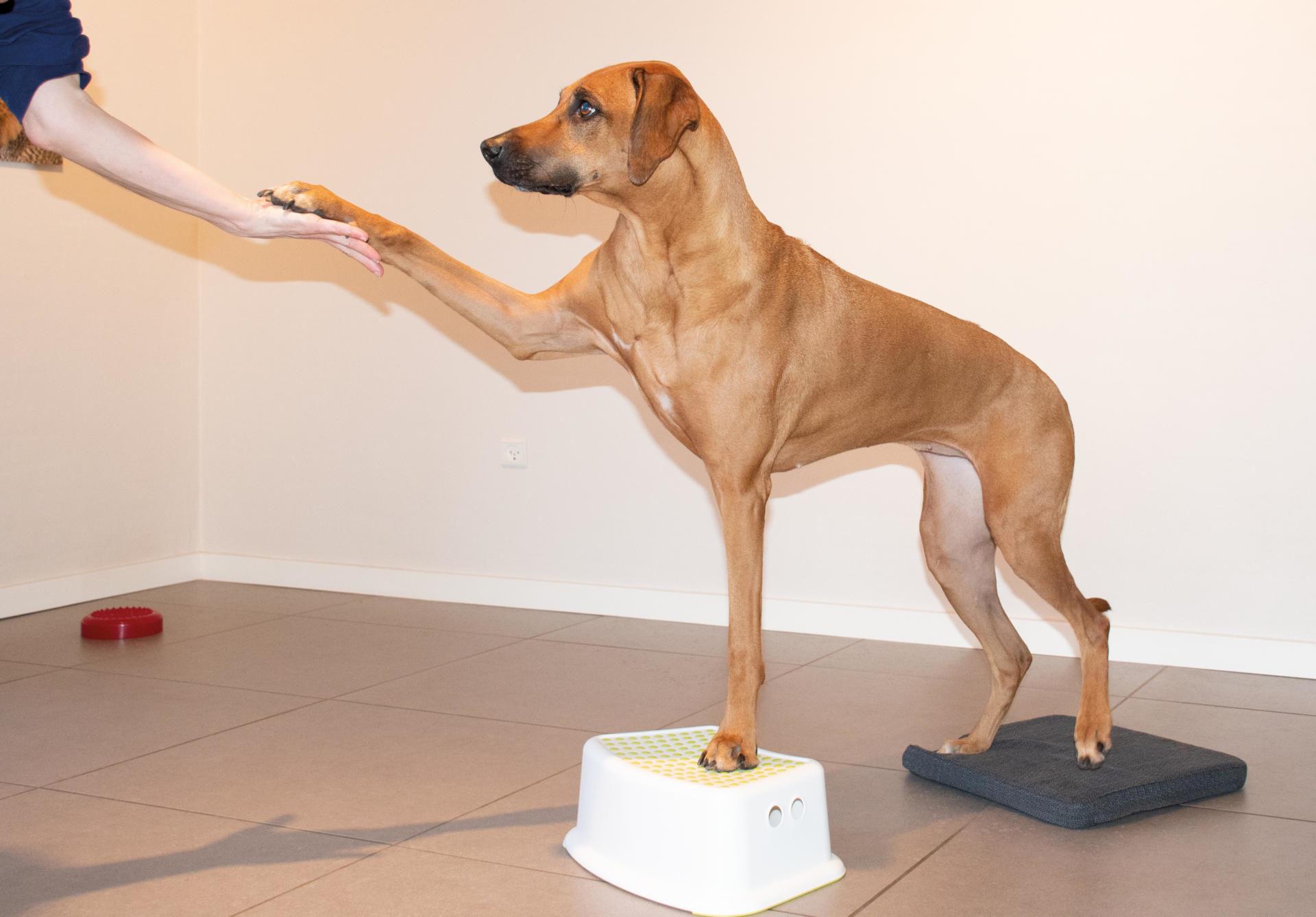 Professionel fysioterapi til hund | Dyrlægehuset Kolding