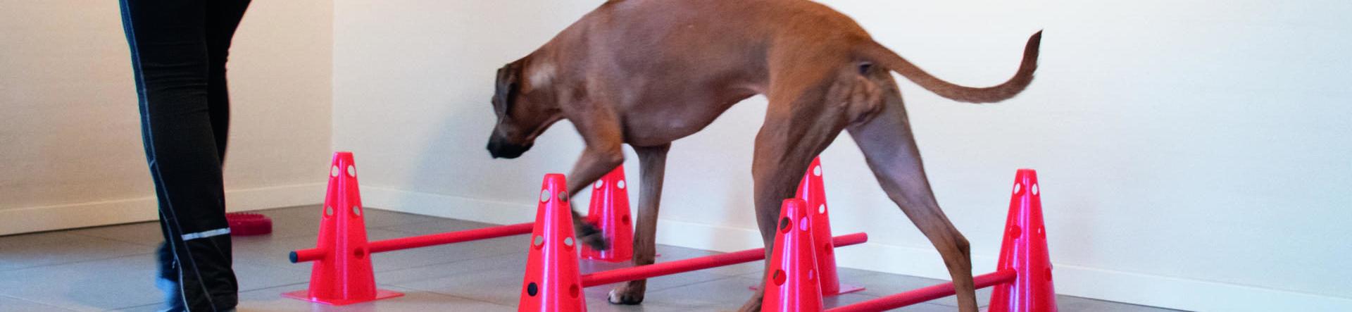 Massage & genoptræning af hund | Dyrlægehuset Kolding
