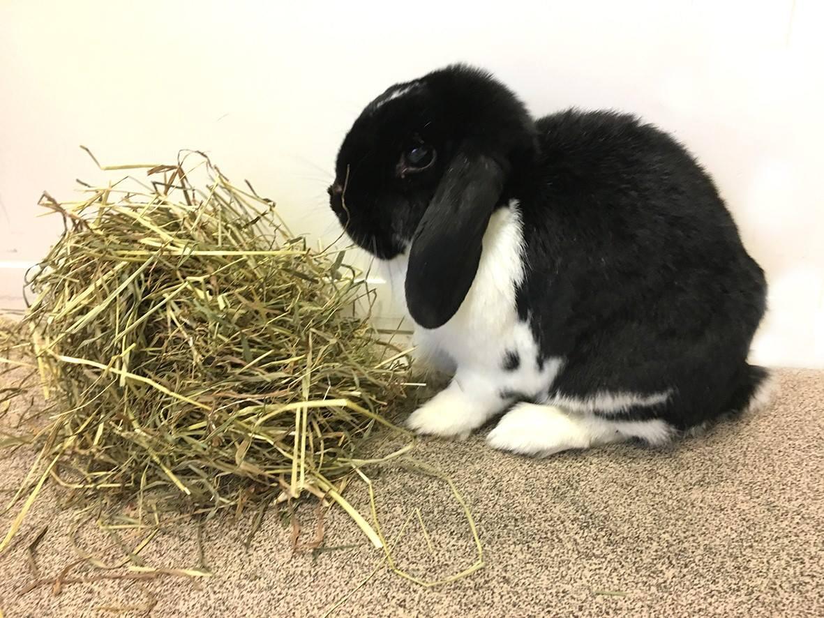 Effektiv behandling af pelsmider hos kanin | Dyrlægehuset Kolding